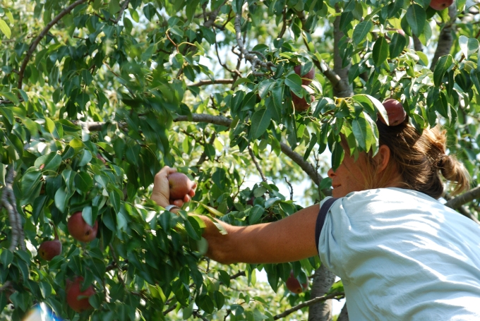 picking apples (Neighborhood Orchard)