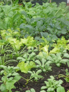 Greens growing in vermicompost (Greenhouses of Hope at Pacific Garden Mission)